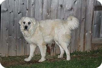 Great Pyrenees Dog for adoption in Kyle, Texas - Pagliotti AKA Branch