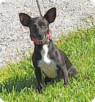 Chihuahua Mix Dog for adoption in Batavia, Ohio - Josie