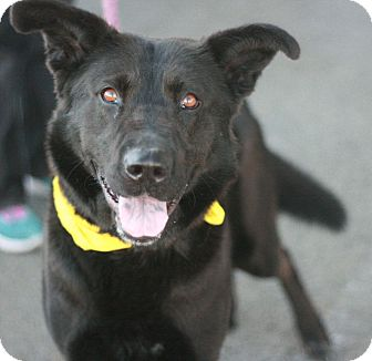 Labrador Retriever/Shepherd (Unknown Type) Mix Dog for adoption in Canoga Park, California - Oso