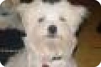 Maltese Puppy for adoption in Chattanooga, Tennessee - Prince Harry (TN)