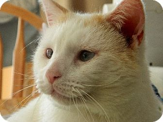 Siamese Cat for adoption in Rochester, Minnesota - BB 8
