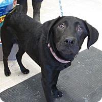 Adopt A Pet :: Dixie - Waterbury, CT