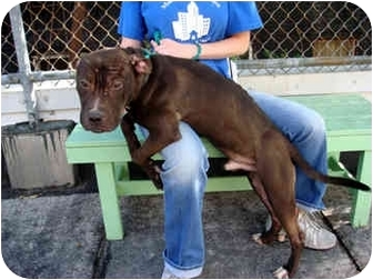 American Staffordshire Terrier Mix Dog for adoption in New York, New York - Joey