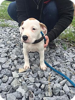 Pit Bull Terrier/American Staffordshire Terrier Mix Puppy for adoption in Staunton, Virginia - Kitri