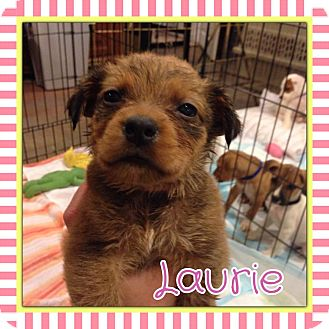 Labrador Retriever Mix Puppy for adoption in Valley Stream, New York - Laurie