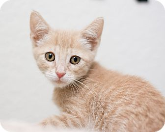 Domestic Mediumhair Kitten for adoption in Fountain Hills, Arizona - Gibson
