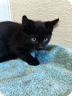 Domestic Mediumhair Kitten for adoption in Las Vegas, Nevada - Sandy