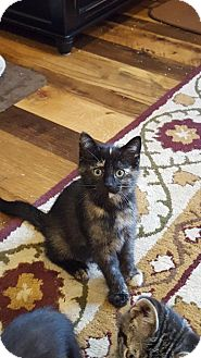Domestic Shorthair Kitten for adoption in Warren, Michigan - Dior