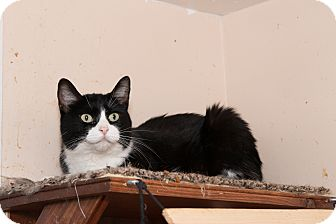 American Bobtail Cat for adoption in Chicago, Illinois - Peaches