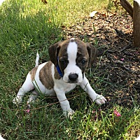 Adopt A Pet :: Trudy - Huntsville, AL