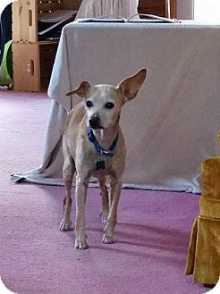 Chihuahua/Whippet Mix Dog for adoption in Bloomingburg, New York - Max