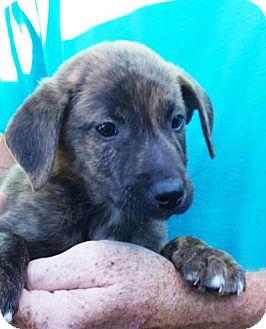 Plott Hound/Labrador Retriever Mix Puppy for adoption in Colonial Heights, Virginia - Moe
