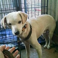 Adopt A Pet :: Johnny Ringo - Houston, TX