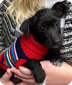Terrier (Unknown Type, Small) Mix Puppy for adoption in Newport Beach, California - Dasher