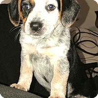 Adopt A Pet :: Panda - Las Cruces, NM