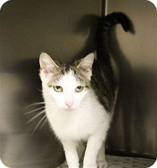 Domestic Shorthair Cat for adoption in Elyria, Ohio - Sweetie