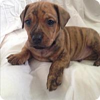 Adopt A Pet :: Smoke - Houston, TX