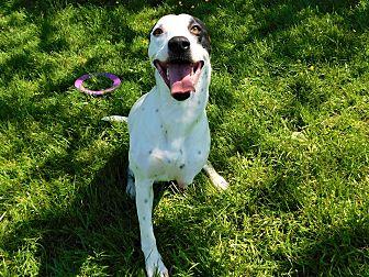 Dalmatian Mix Dog for adoption in Lafayette, New Jersey - Mia