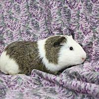 Guinea Pig for adoption in Goleta, California - MICHAEL