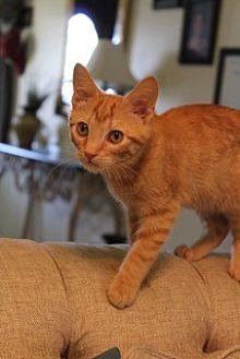 Domestic Shorthair Kitten for adoption in Marietta, Georgia - Boy George