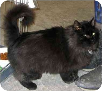 Domestic Longhair Cat for adoption in Alden, Iowa - Bounce