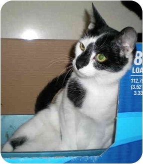 Domestic Shorthair Kitten for adoption in Troy, Michigan - Niles