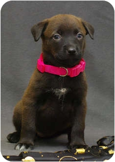 Catahoula Leopard Dog/Labrador Retriever Mix Puppy for adoption in Westminster, Colorado - WINKY