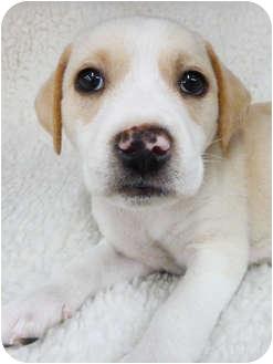 Labrador Retriever Mix Puppy for adoption in Detroit, Michigan - Emmie- Adopted
