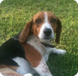 Beagle Mix Dog for adoption in Westport, Connecticut - *Clyde - PENDING