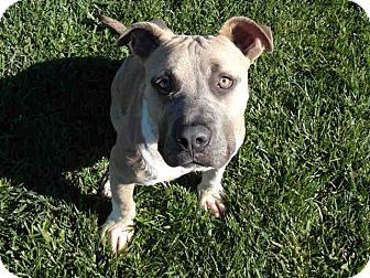 American Staffordshire Terrier Mix Dog for adoption in Sacramento, California - Ivan SUPER URGENT!!!