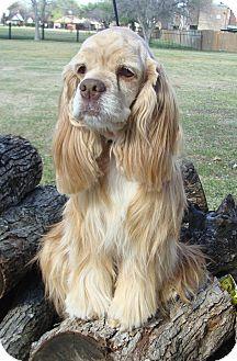 Cocker Spaniel Dog for adoption in Sugarland, Texas - Georgia
