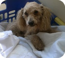 Poodle (Miniature) Dog for adoption in St. Petersburg, Florida - Sam
