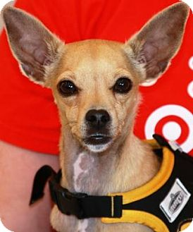 Italian Greyhound Mix Dog for adoption in Gilbert, Arizona - BatMan