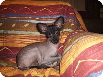 Xoloitzcuintle/Mexican Hairless/Chinese Crested Mix Dog for adoption in Tucson, Arizona - Stella
