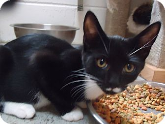 Domestic Shorthair Cat for adoption in Ozark, Alabama - Ryder