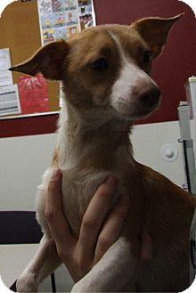 Italian Greyhound/Jack Russell Terrier Mix Dog for adoption in Kalamazoo, Michigan - Rod