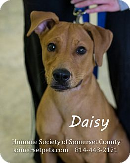 Labrador Retriever Mix Puppy for adoption in Somerset, Pennsylvania - Daisy