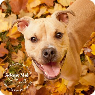 Boxer/Pit Bull Terrier Mix Dog for adoption in Mansfield, Ohio - Austin