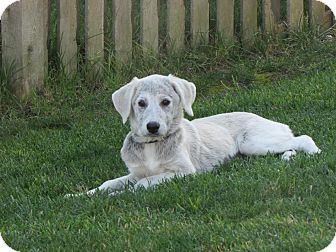 Labrador Retriever Mix Puppy for adoption in Naperville, Illinois - Lena