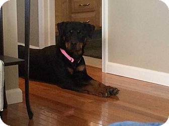 Rottweiler Dog for adoption in Rexford, New York - Liesel