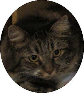 Maine Coon Cat for adoption in Pueblo West, Colorado - Penelope