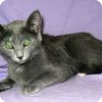 Domestic Shorthair Cat for adoption in Powell, Ohio - Colby