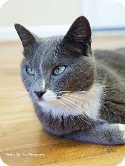 Domestic Shorthair Cat for adoption in Homewood, Alabama - Blue (Declawed)