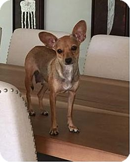 Chihuahua Mix Dog for adoption in Wellington, Florida - Kiwi