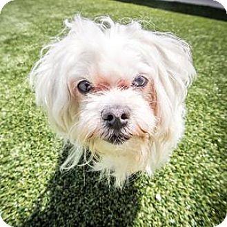 Maltese Mix Dog for adoption in Truckee, California - Elton