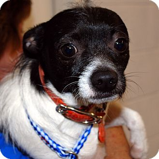Terrier (Unknown Type, Small) Mix Dog for adoption in Hayden, Idaho - Jake