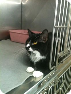 Domestic Longhair Cat for adoption in Greenville, Kentucky - Lilly