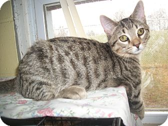 Domestic Shorthair Cat for adoption in Portland, Indiana - Mimi