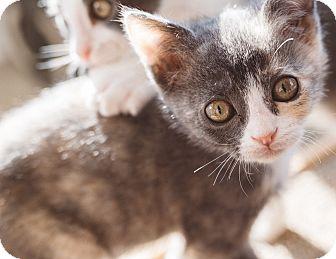 Domestic Shorthair Kitten for adoption in Keller, Texas - Libby