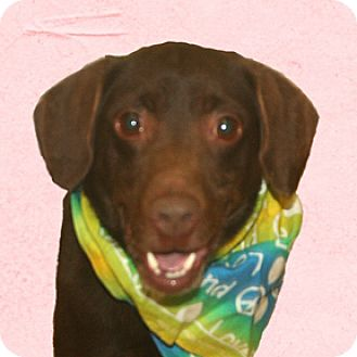 Labrador Retriever/Vizsla Mix Dog for adoption in Cincinnati, Ohio - Bron